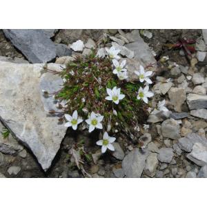Minuartia verna (L.) Hiern subsp. verna (Minuartie de printemps)
