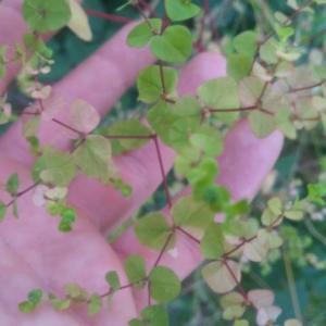 Photographie n°2357110 du taxon Euphorbia peplus L. [1753]