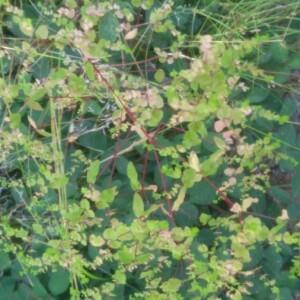 Photographie n°2357112 du taxon Euphorbia peplus L. [1753]