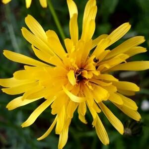 Photographie n°2357958 du taxon Crepis paludosa (L.) Moench [1794]