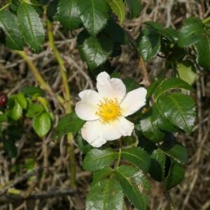 Photographie n°2359046 du taxon Rosa canina L. [1753]