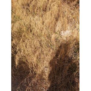 Panicum virgatum L. (Millet dressé)