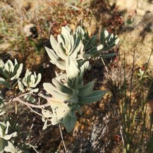 Photographie n°2359175 du taxon Cistus albidus L. [1753]
