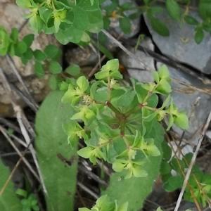 Photographie n°2359226 du taxon Euphorbia peplus L. [1753]