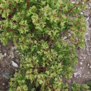 Photographie n°2359270 du taxon Euphorbia peplus L. [1753]