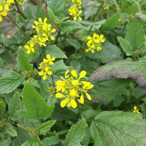 Brassica juncea (L.) Czern. (Chou faux jonc)