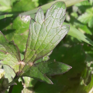Photographie n°2359674 du taxon Ranunculus bulbosus L. [1753]