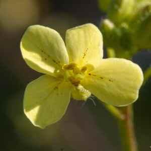 Photographie n°2359718 du taxon Bunias erucago L.