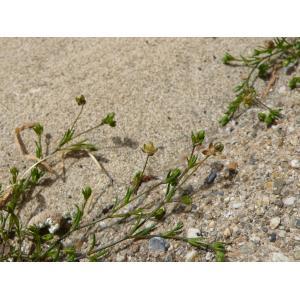 Sagina apetala subsp. erecta F.Herm. (Sagine dressée)