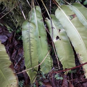 Photographie n°2360470 du taxon Asplenium scolopendrium L. [1753]