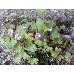 Geranium sibiricum L. (Géranium de Sibérie)
