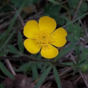 Photographie n°2361335 du taxon Ranunculus bulbosus L. [1753]