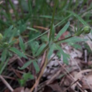 Photographie n°2361336 du taxon Ranunculus bulbosus L. [1753]