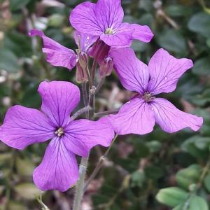Photographie n°2361348 du taxon Lunaria annua L. [1753]