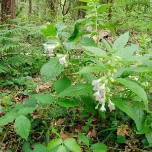 Photographie n°2361583 du taxon Melittis melissophyllum L. [1753]