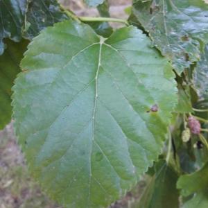Photographie n°2361811 du taxon Morus alba L. [1753]