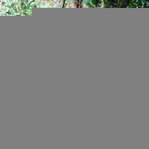 Photographie n°2362677 du taxon Clinopodium vulgare L. [1753]