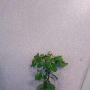 Photographie n°2362773 du taxon Euphorbia peplus L. [1753]