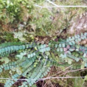 Photographie n°2362802 du taxon Asplenium scolopendrium L. [1753]