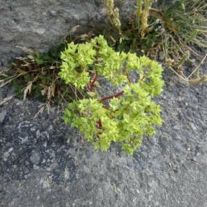 Photographie n°2363803 du taxon Euphorbia peplus L. [1753]