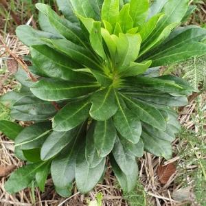 Photographie n°2368367 du taxon Daphne laureola L. [1753]