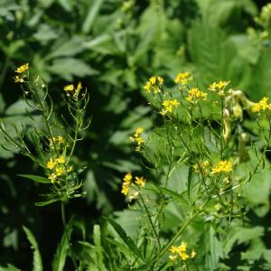 Photographie n°2369575 du taxon Descurainia tanacetifolia subsp. tanacetifolia