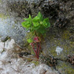 Photographie n°2369622 du taxon Euphorbia peplus L.