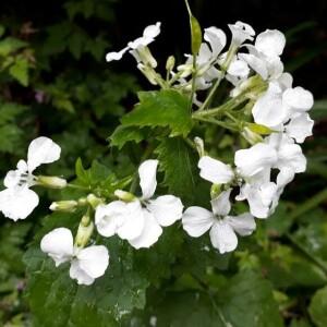 Photographie n°2370482 du taxon Lunaria annua L. [1753]