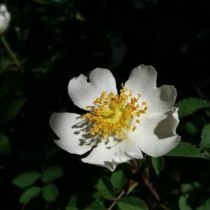 Photographie n°2370793 du taxon Rosa arvensis Huds. [1762]