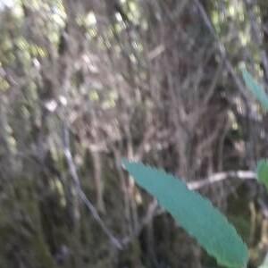 Photographie n°2371634 du taxon Melittis melissophyllum L. [1753]