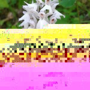 Photographie n°2371850 du taxon Dactylorhiza fuchsii (Druce) Soó [1962]