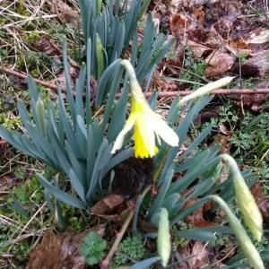 Photographie n°2372360 du taxon Narcissus pseudonarcissus L. [1753]