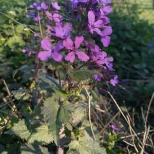 Photographie n°2372868 du taxon Lunaria annua L.