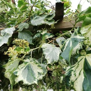 Photographie n°2372879 du taxon Hedera canariensis Willd. [1808]