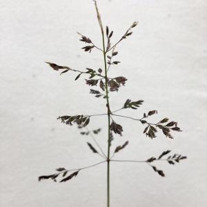 Photographie n°2372890 du taxon Poa pratensis L. [1753]