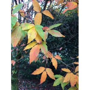 Toxicodendron radicans (L.) Kuntze (Arbre à la gale)