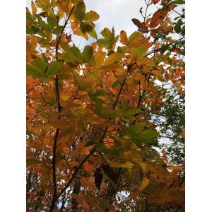 Rhus toxicodendron sensu P.Fourn. (Arbre à la gale)