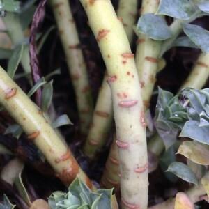 Euphorbia corsica Req. (Euphorbe de Corse)