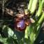 Hugo Santacreu - Ophrys speculum Link [1799]