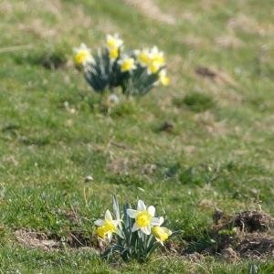 Photographie n°2373591 du taxon Narcissus pseudonarcissus L. [1753]