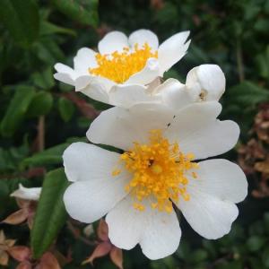 Photographie n°2373836 du taxon Rosa arvensis Huds. [1762]