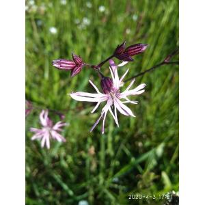 Heliosperma alpestre (Jacq.) Rchb. (Alpine Campion)