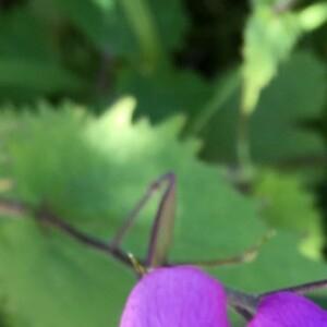 Photographie n°2374146 du taxon Lunaria annua L. [1753]