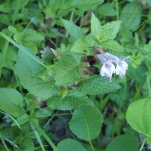 Photographie n°2374159 du taxon Melittis melissophyllum L. [1753]