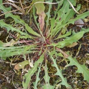 Photographie n°2374228 du taxon Leontodon saxatilis Lam. [1779]