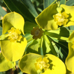 Photographie n°2375228 du taxon Euphorbia dendroides L. [1753]