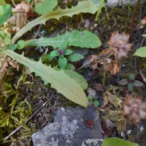 Photographie n°2375383 du taxon Scabiosa L. [1753]