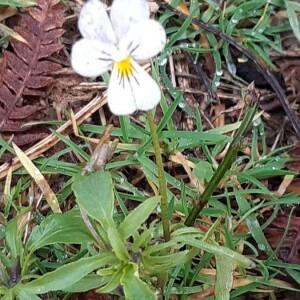 Photographie n°2375537 du taxon Viola arvensis Murray [1770]