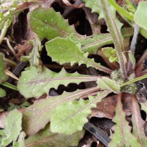 Photographie n°2375544 du taxon Crepis sancta (L.) Bornm. [1913]