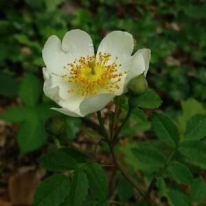 Photographie n°2376327 du taxon Rosa arvensis Huds. [1762]